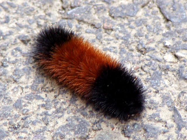 terri-woolly-caterpillar